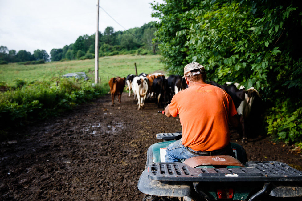 After the milking, the pasture